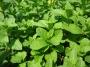 Mentha spicata ´Marokko´