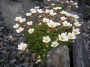 Saxifraga pubescens ssp.irathiana