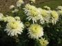 Chrysanthemum x hortorum bílá plná
