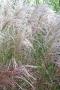 Miscanthus sinensis ´Kleine Fontaine´