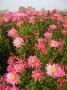 Chrysanthemum x hortorum fialová