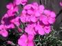 Dianthus gratianopolitanus ´Babí Lom ´