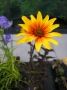 Heliopsis helianthoides var.scabra ´Burning Hearts´