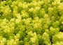 Sedum acre ´Yellow Queen´
