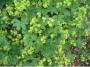 Alchemilla faeroensis var.pumila