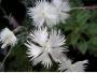 Dianthus gratianopolitanus bílý vzpřímený