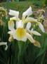 Iris sibirica ´Butter and Sugar´