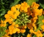 Erysimum hybridum ´Orange Flame´