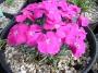 Dianthus gratianopolitanus ´Ametyst´