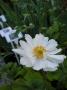 Anemone hupehensis ´Whirlwind´