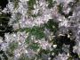 Dianthus furcatus