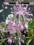 Allium carinatum ssp.pulchellum