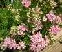 Asperula lilaciflora