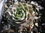 Sempervivum x hybridum ´Atroviolaceum´